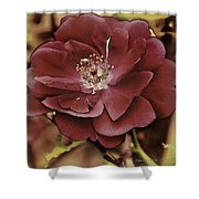 Wild Rose Iv Shower Curtain