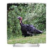 Wild Turkey Shower Curtain by Karol Livote