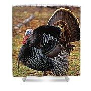 Wild Turkey Male Displaying Long Island Shower Curtain