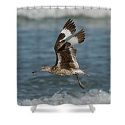 Willet In Flight Showing Wing Molt Shower Curtain