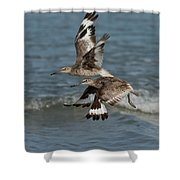 Willets In Flight Showing Molt Shower Curtain