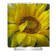 Windblown Sunflower Three Shower Curtain