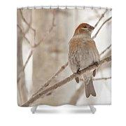 Winter Pine Grosbeak Shower Curtain