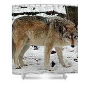 Winter Wolf In The Snow Shower Curtain