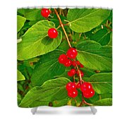 Winterberry Along Rivier Du Nord Trail In The Laurentians-qc Shower Curtain