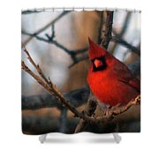 Northern Cardinal Red Beauty  Shower Curtain
