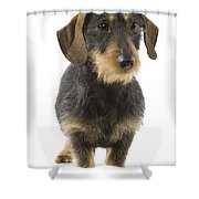 Wire-haired Dachshund Shower Curtain