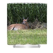 Wisconsin Doe Resting Shower Curtain