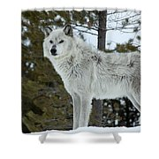 Wolf - Curiousity Shower Curtain
