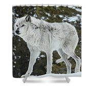 Wolf - Discovery Shower Curtain