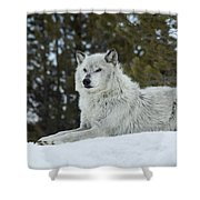Wolf - Resting Shower Curtain