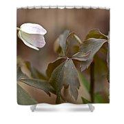 Wood Anemone Wildflower - Anemone Quinquefolia L.  Shower Curtain