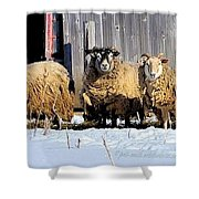 Wooly Sheep In Winter Shower Curtain