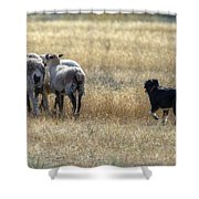 Working Sheep Shower Curtain