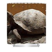 yawning juvenile Galapagos Giant Tortoise Shower Curtain