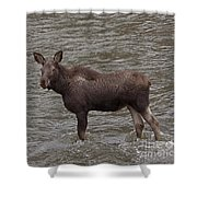 Yearling Moose In The Shoshone River   #1284 Shower Curtain