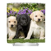 Yellow And Black Labrador Puppies Shower Curtain