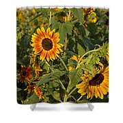 Yellow And Orange Sunflowers Shower Curtain