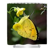 Yellow And Yellow Sulphur Butterfly Shower Curtain