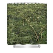 Yellow-barked Acacia Trees Shower Curtain