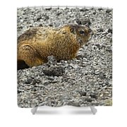 Yellow-bellied Marmot   #5187 Shower Curtain