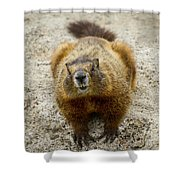 Yellow-bellied Marmot   #5300 Shower Curtain
