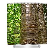 Yellow Birch Near La Chute In Forillon Np-qc Shower Curtain