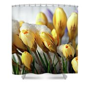 Yellow Crocuses In The Snow Shower Curtain