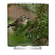 Yellow-crowned Kinglet Shower Curtain