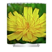 Yellow Hawkweed - Hieracium Caespitosum  Shower Curtain