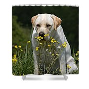 Yellow Labrador Retriever Dog Smelling Yellow Flowers  Shower Curtain