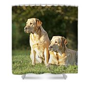 Yellow Labrador Retrievers Shower Curtain