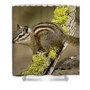Yellow Pine Chipmunk Shower Curtain