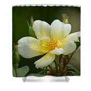 Yellow Rose 2013a Shower Curtain