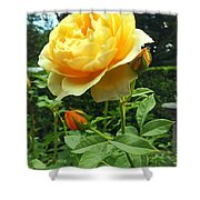Yellow Rose And Buds Shower Curtain
