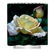 Yellow Rose Morning Dew Shower Curtain