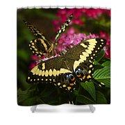 Yellow Swallowtail Butterflies  Shower Curtain