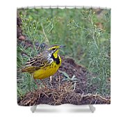 Yellow-throated Longclaw Shower Curtain