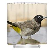 Yellow-vented Bulbul Pycnonotus Xanthopygos Shower Curtain