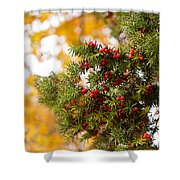 Taxus Baccata Or Yew Red Fruits On Twig  Shower Curtain