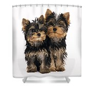 Yorkie Puppies Shower Curtain