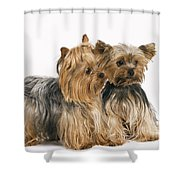 Yorkshire Terrier Dogs Shower Curtain
