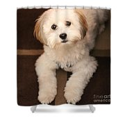 Yoshi Is One Today - Havanese Puppy Shower Curtain