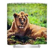 Young Adult Male Lion On Savanna. Safari In Serengeti. Tanzania Shower Curtain
