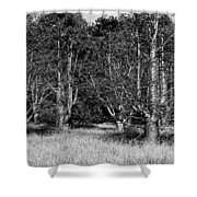 Young Baobab Trees  Shower Curtain