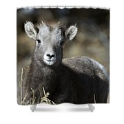 Young Bighorn Sheep Shower Curtain