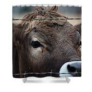 Young Braunvieh Bull Shower Curtain