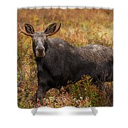 Young Bull Moose Being Aggressive Shower Curtain