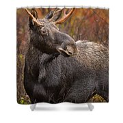 Young Bull Moose Shower Curtain