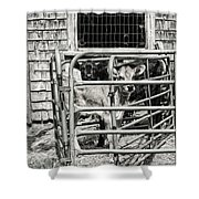 Young Cows In Pen Near Barn Maine Photograph Shower Curtain